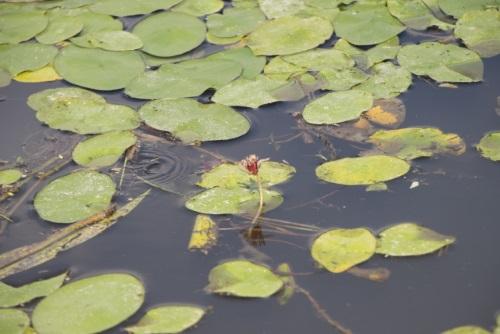 ジュンサイの葉と花