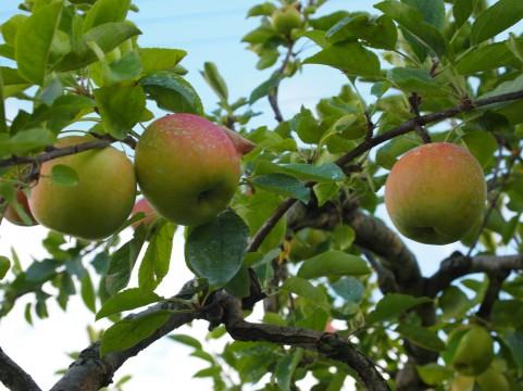 りんごとリンゴの木